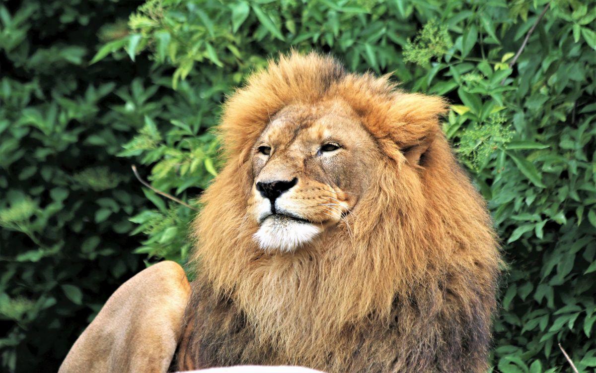 Cudowne rozmnożenie bytomskich lwów
