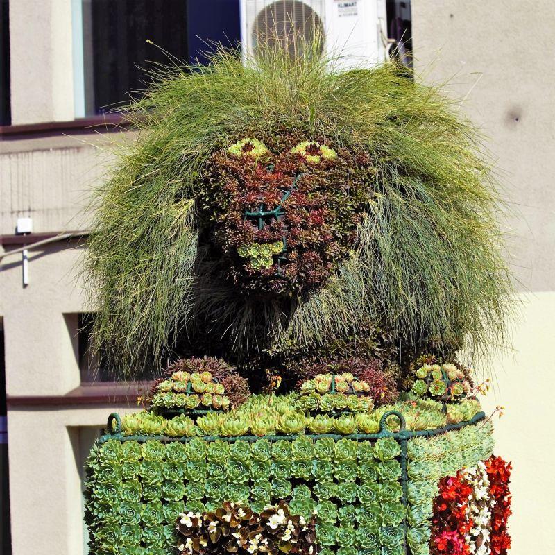 Bytom. Kwiatowy lew z ulicy Dworcowej. Grzywa na rok 2017.Fot. Jerzy S. Majewski